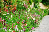 Luxuriant, summer flower bed with sweet peas along climber-covered garden wall