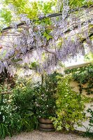 Flowering wisteria and planted, vintage wooden tub in corner of garden