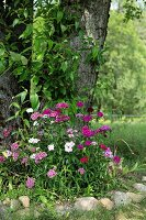 Bed of sweet William edged in pebbles around tree trunk in summery landscape