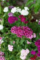 Bed of purple and white sweet William