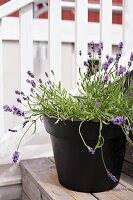 Flowering lavender in black ceramic pot on wooden steps