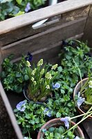 White grape hyacinths and blue violas in flowerpots in wooden crate