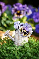 Mind-your-own-business plant and violas in miniature watering can