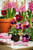 Hyacinths & violas on potting table