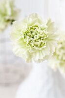 Pale green 'Goblin' carnation (close-up)