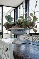 Succulents planted in urn on rustic wooden table with traditional, white-painted chairs in loggia-style room with vintage ambiance