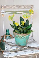 Cowslip in turquoise, antique-effect flowerpot on white garden chair with peeling paint
