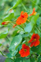 Orange-flowering nasturtiums with leaves and buds