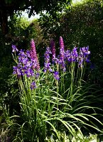 Flowering iris and lupins in summer garden
