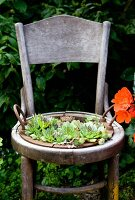 Sempervivums planted in old wooden chair