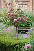 Pink-flowering rose bush in blooming garden with secluded seating area in background