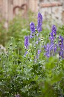 Poppy seedheads and purple delphiniums