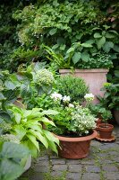 Various foliage plants, some in terracotta pots on paved area in garden