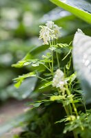 White-flowering corydalis
