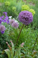 Flowering allium in garden