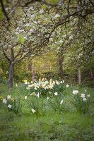 Daffodils under blossoming fruit trees