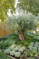 Bed of Mediterranean herbs around magnificent old olive tree