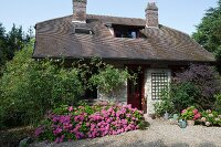 Luxuriant hydrangeas outside small stone cottage