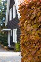Beech hedge with yellow autumn leaved in front of dark wooden house with white window frames