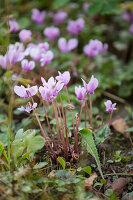 Cyclamen with pale purple flowers in garden