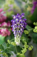 Purple lupin (close-up)