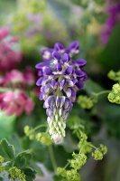 Purple lupin (close-up)