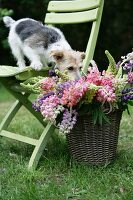 Dog standing on garden chair sniffing basket of cut lupins
