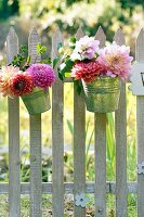 Dahlias in metal buckets decorating picket fence adjoining meadow