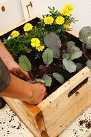 Vegetables and tagetes wooden crate as planter