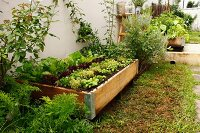 Vegetable beds in wooden frames along base of wall
