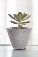 Small succulent in grey ceramic pot in front of window