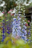 Pale violet and dark purple delphiniums in cottage garden