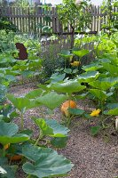Pumpkin plants in idyllic cottage garden
