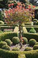 Tree with braided trunk in topiary garden with box balls and hedges