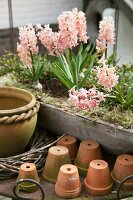 Pink hyacinths planted in trough next to terracotta pots