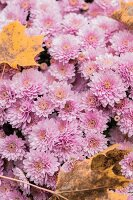 Pink chrysanthemums and autumnal sycamore leaves