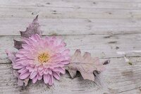 Pink chrysanthemum and oak leaf on rustic wooden surface
