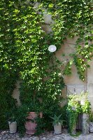 Potted plants at base of façade covered in vine