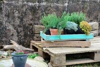 Various potted herbs in old plant tray on rustic wooden pallet against stone wall