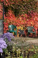 Bright autumn foliage of Virginia creeper on wall