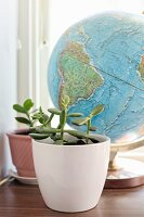 Jade tree in white pot in front of globe