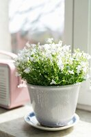 White-flowering potted plant on saucer on windowsill