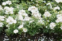 White-flowering roses in garden