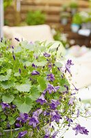 Canterbury bells in a bowl