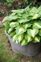 Hosta planted in old zinc tub in garden