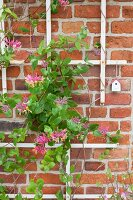 Honeysuckle growing over trellising on brick wall