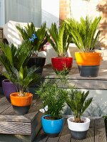 Small palm trees in colourful pots on terrace