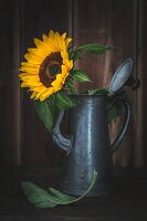 Sunflower in metal coffee pot
