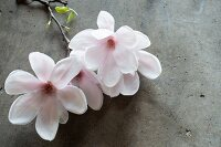 White magnolia flowers on concrete surface