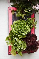 Arrangement of various lettuces and plants
